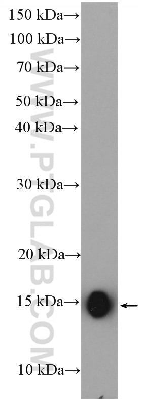 WB analysis of HepG2 using 11727-3-AP