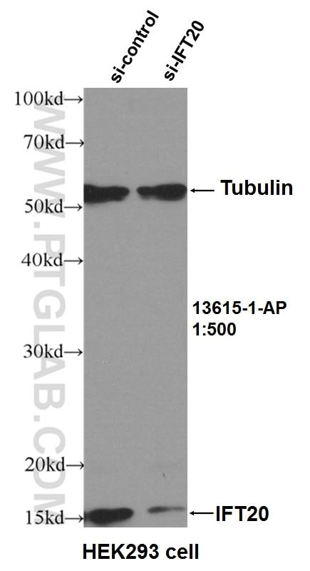 WB analysis of HEK-293 using 13615-1-AP