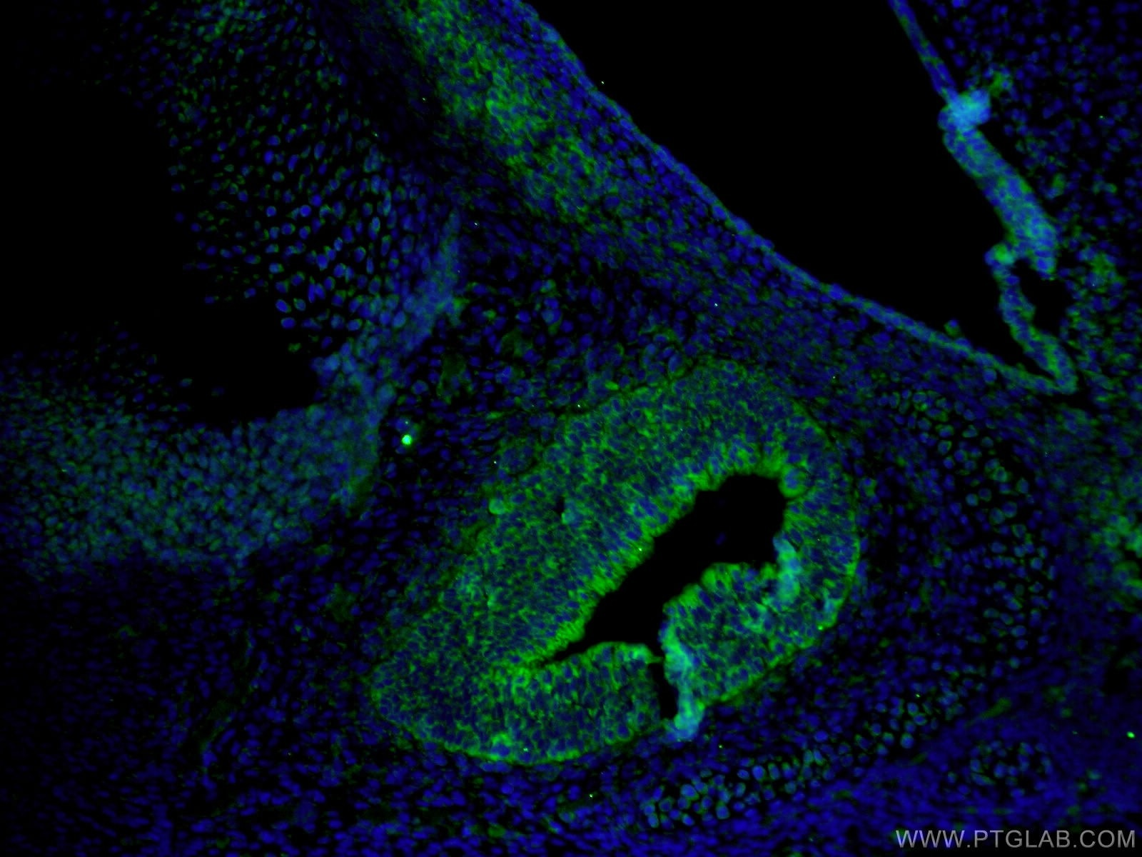 IF Staining of mouse embryo using 18474-1-AP
