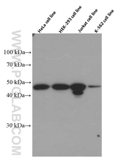 WB analysis using 66460-1-Ig
