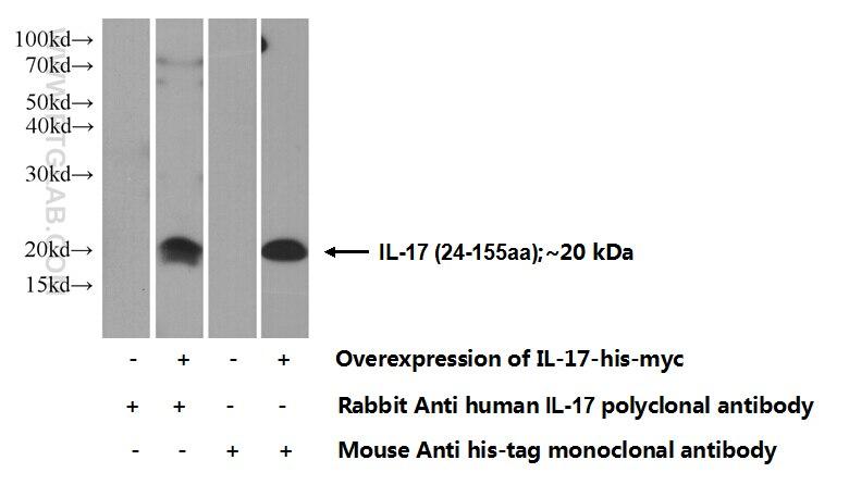 IL-17 Polyclonal antibody