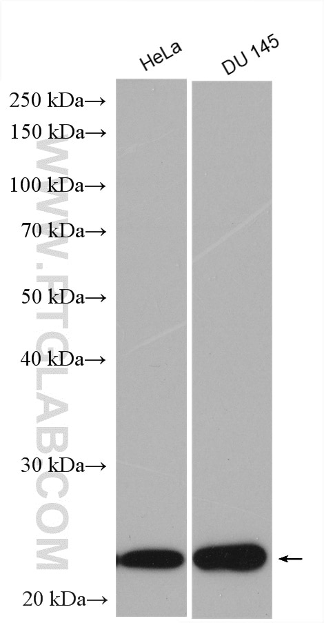 WB analysis using 10663-1-AP
