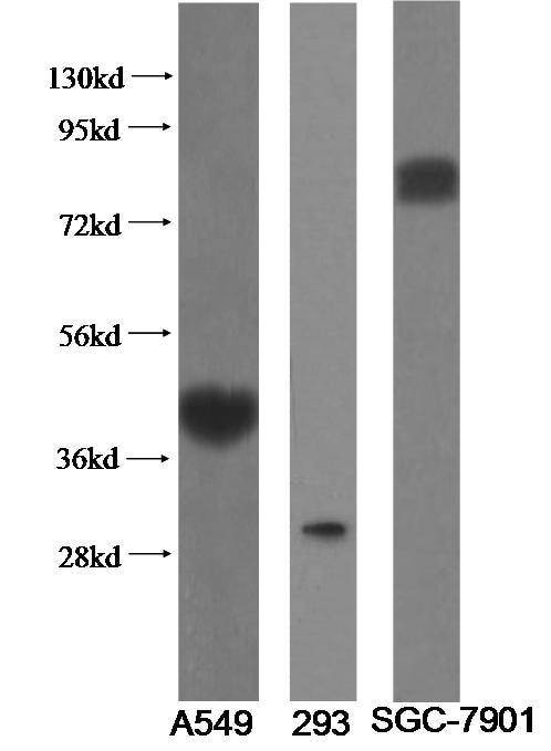 WB analysis of multi-cells using 11920-1-AP
