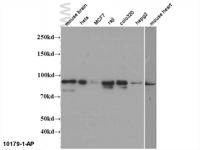 Mitofilin Polyclonal antibody