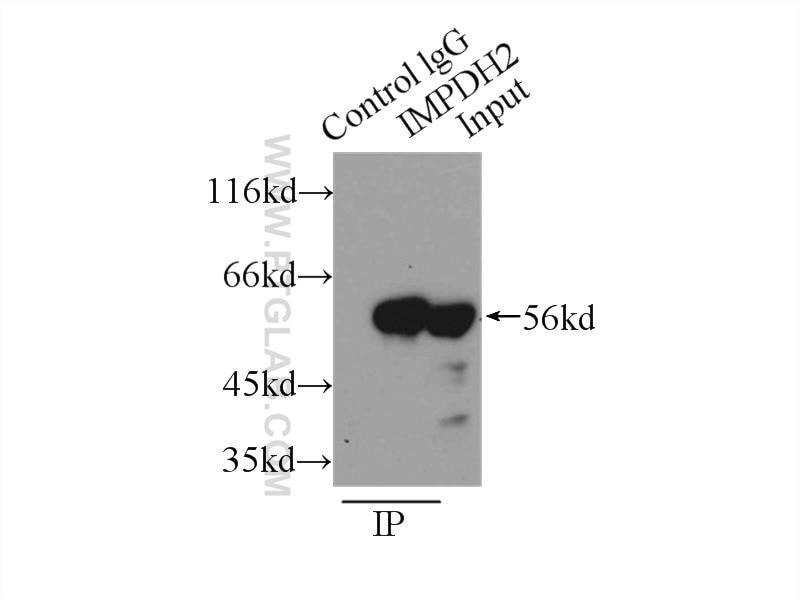 IP experiment of K-562 using 12948-1-AP