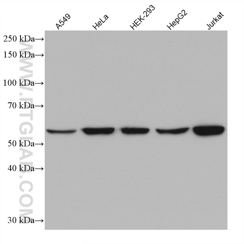 WB analysis using 67663-1-Ig