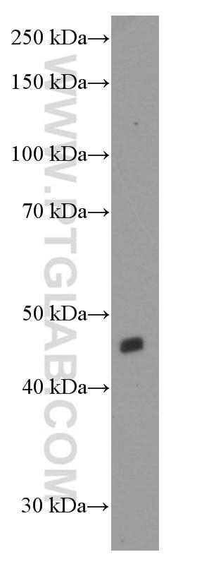 WB analysis of HepG2 using 60352-1-Ig