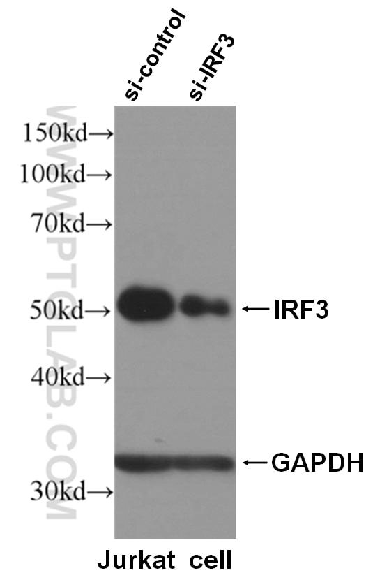 WB analysis of Jurkat cells using 11312-1-AP