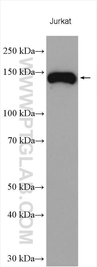 WB analysis using 19676-1-AP