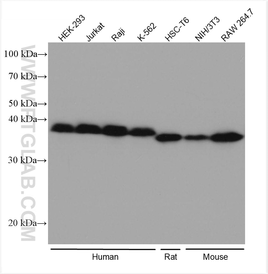 WB analysis using 80019-1-RR