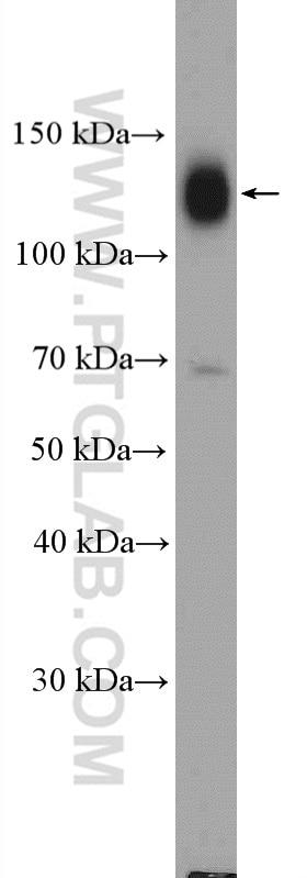 WB analysis of HT-1080 using 26918-1-AP