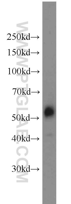 JNK Polyclonal antibody
