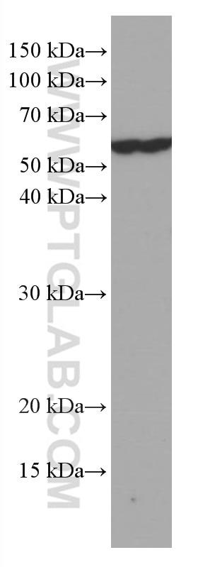 WB analysis of NIH/3T3 using 66708-1-Ig