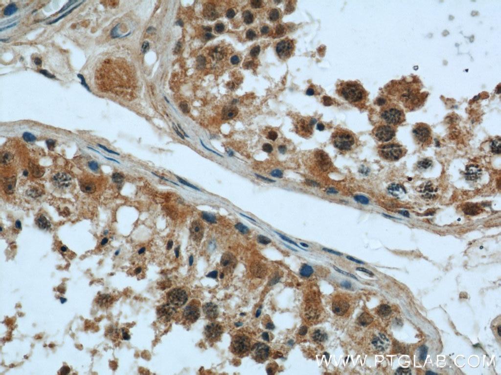 IHC staining of human testis using 55407-1-AP
