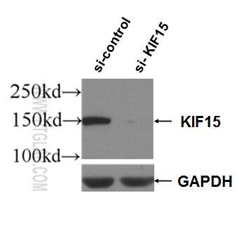 WB analysis of HEK-293 using 55407-1-AP