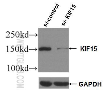 WB analysis of Jurkat using 55407-1-AP