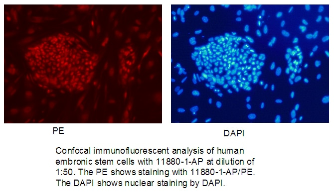 IF Staining of human embronic stem cells using 11880-1-AP