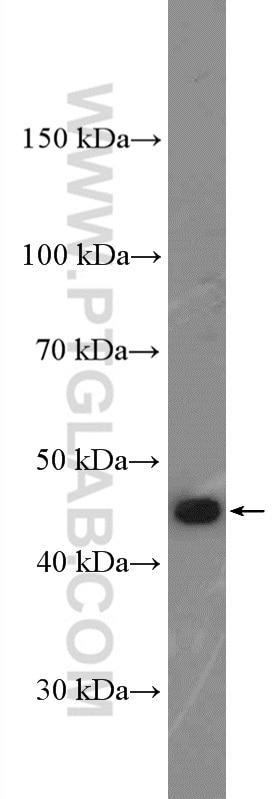 WB analysis of K-562 using 13332-1-AP