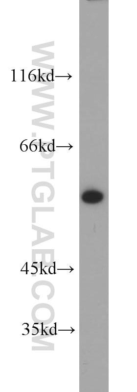 10819-1-AP;HepG2 cells
