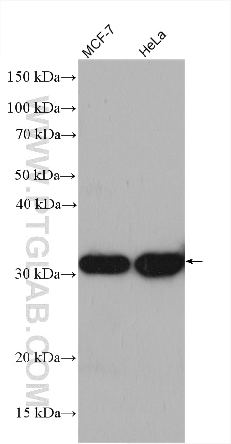 Various lysates were subjected to SDS PAGE followed by western blot with  16783-1-AP (LACTB2 antibody) at dilution of 1:4000 incubated at room  temperature ...