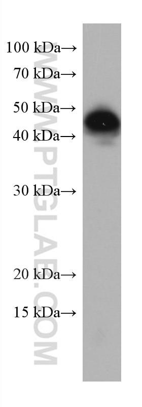 WB analysis of THP-1 using 67220-1-Ig