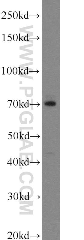 LAMP3 Polyclonal antibody