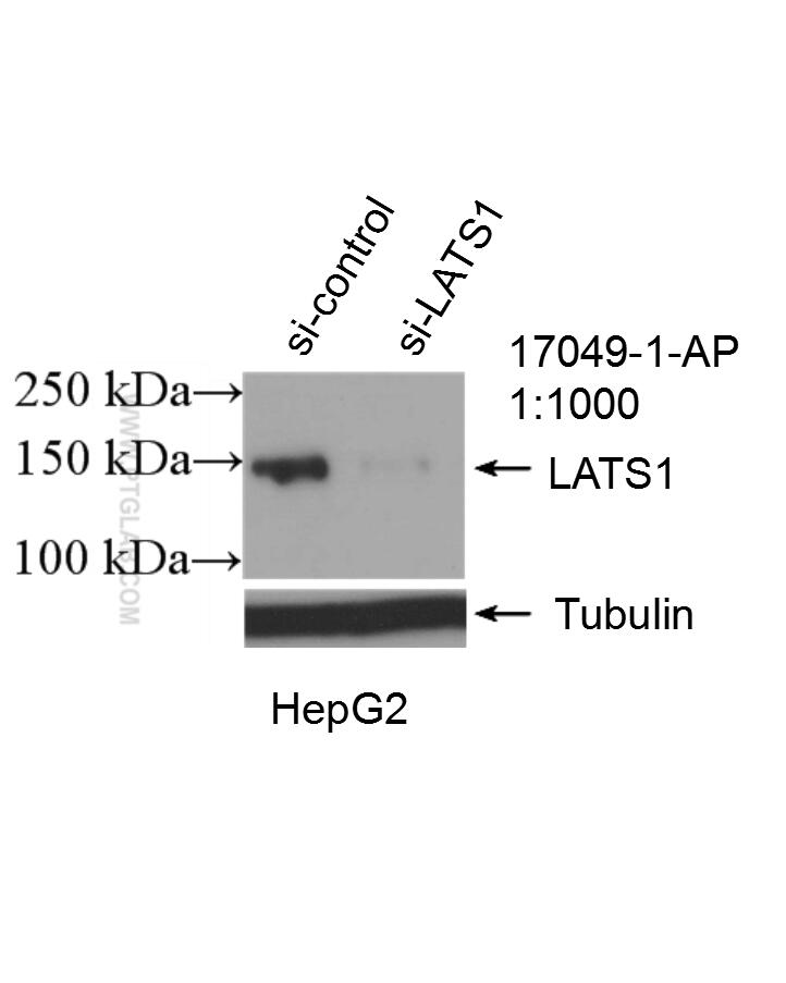 WB analysis of HepG2 using 17049-1-AP