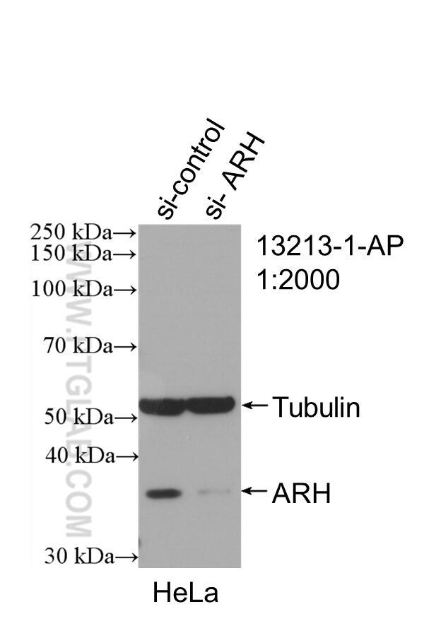 WB analysis of HeLa using 13213-1-AP