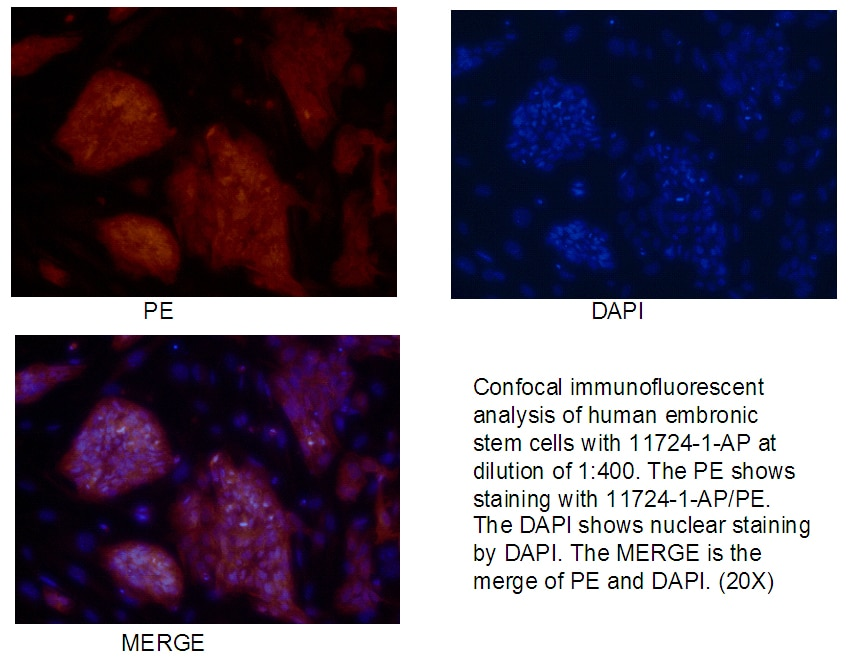 IF Staining of human embronic stem cells using 11724-1-AP