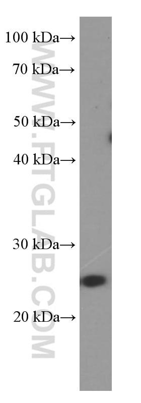 WB analysis of NCCIT using 60344-1-Ig