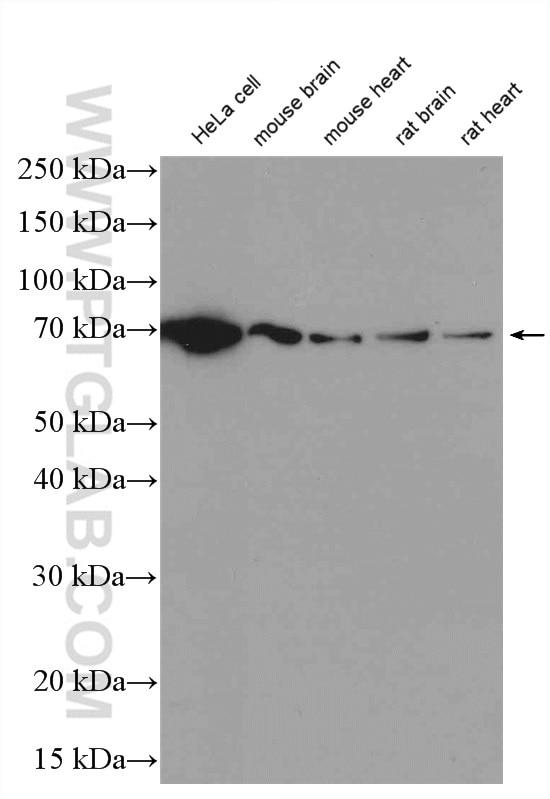 12987-1-AP;HeLa cells