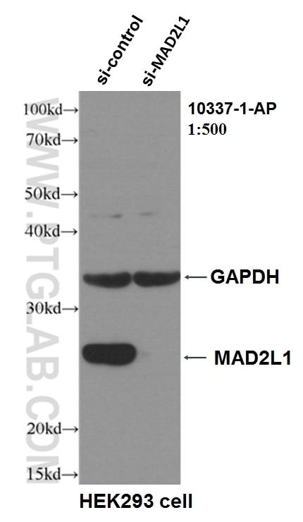 WB analysis of HEK-293 using 10337-1-AP