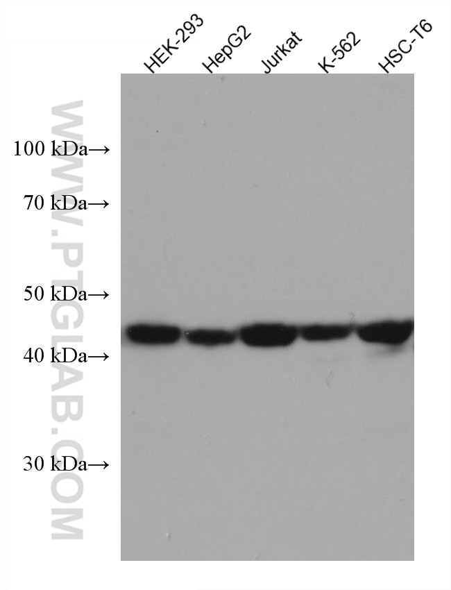 WB analysis using 67333-1-Ig