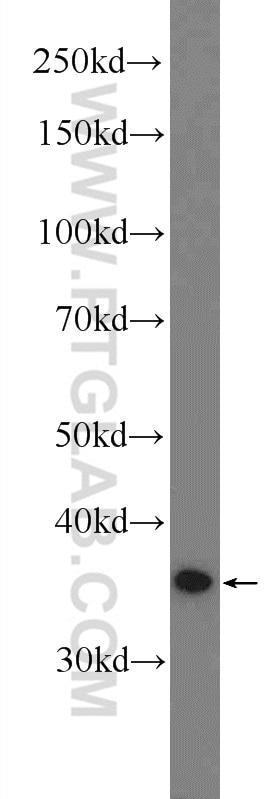 WB analysis of HEK-293 using 51094-1-AP
