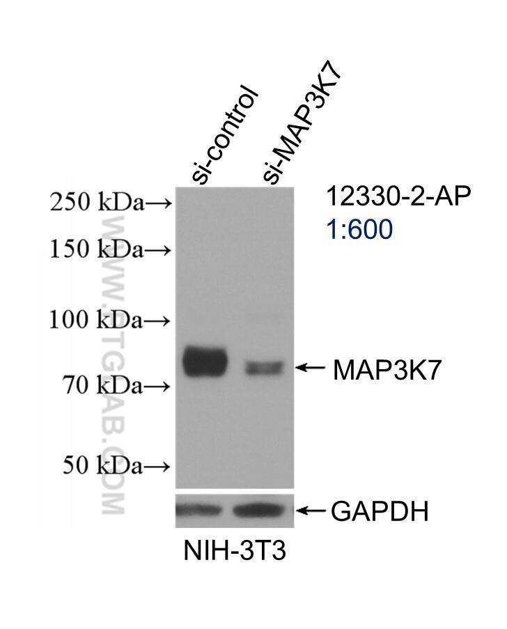 WB analysis of NIH/3T3 using 12330-2-AP