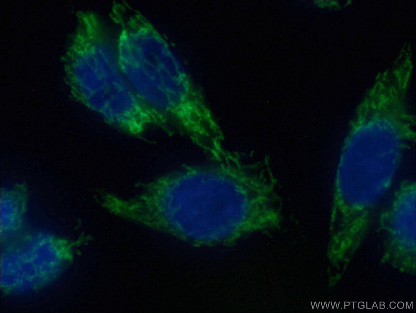 IF Staining of HeLa using CL488-14341