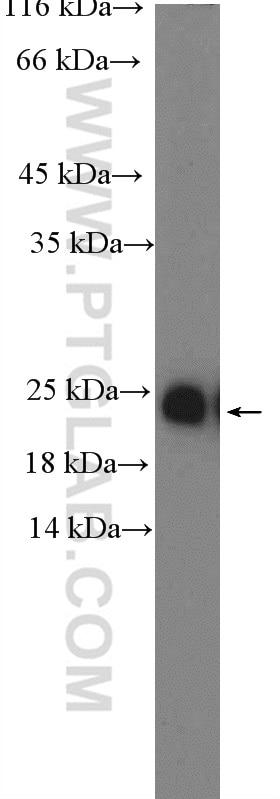 WB analysis of HEK-293 using 10426-1-AP