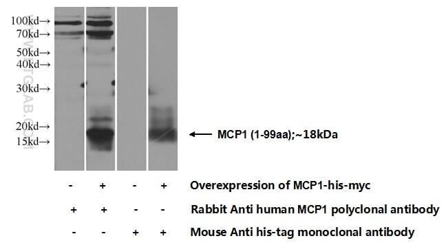 MCP1 Polyclonal antibody