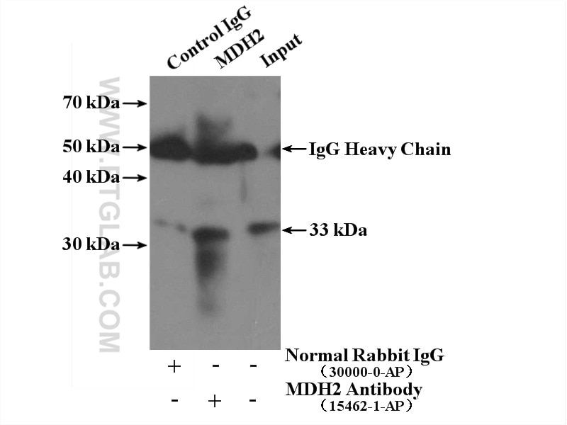 IP experiment of mouse lung using 15462-1-AP