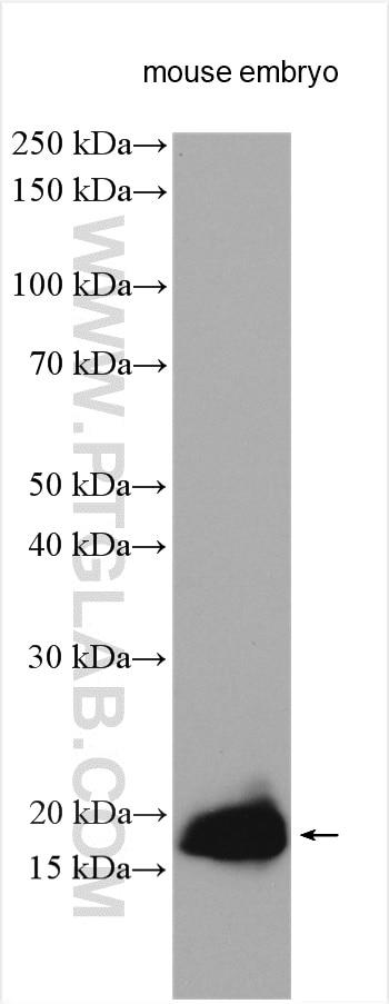 WB analysis using 11009-1-AP