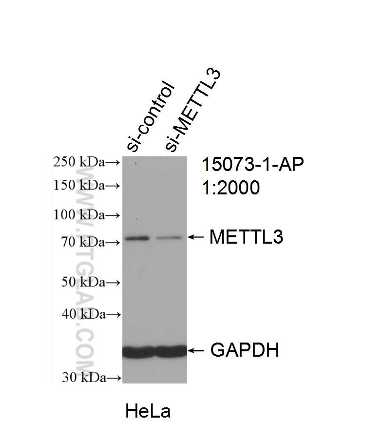WB analysis of HeLa using 15073-1-AP