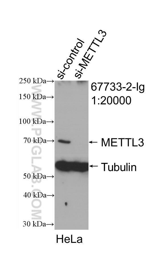 WB analysis of HeLa using 67733-2-Ig