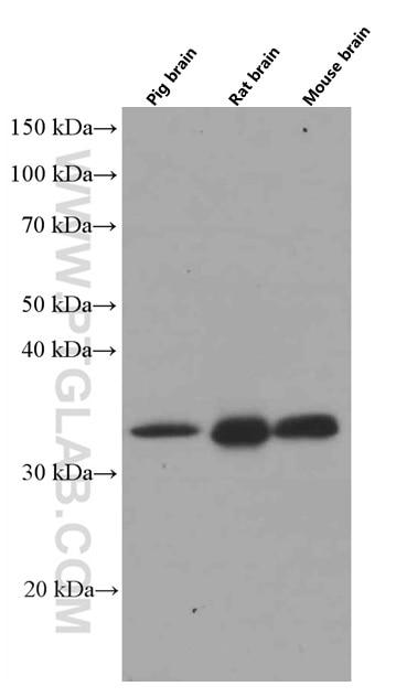 WB analysis of pig brain using 66527-1-Ig