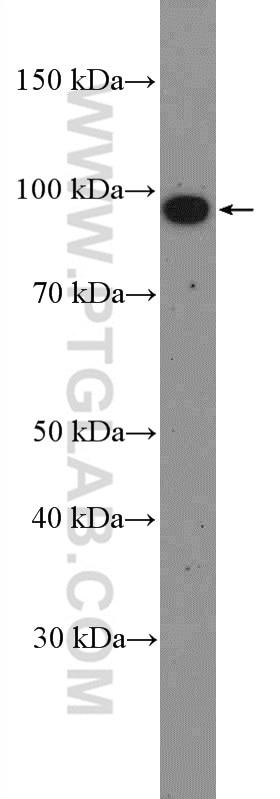 MIOS Polyclonal antibody