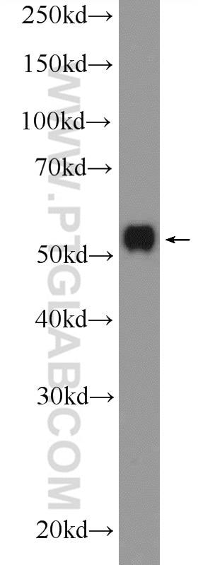 WB analysis of HepG2 using 21066-1-AP