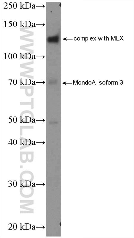 WB analysis of K-562 using 13614-1-AP