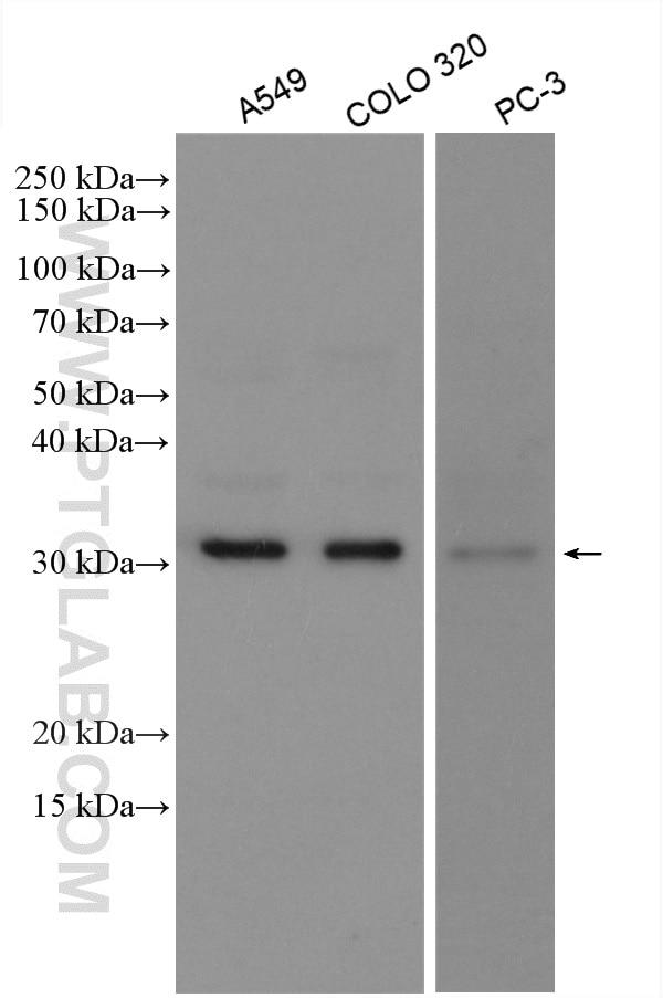 WB analysis using 10374-2-AP