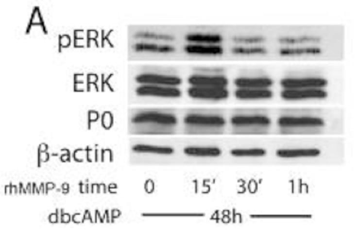 WB analysis of Schwann cells using 10572-1-AP