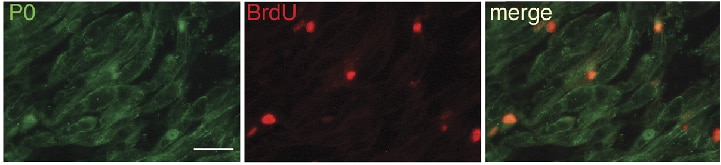 IF Staining of myelinating SCs cells using 10572-1-AP