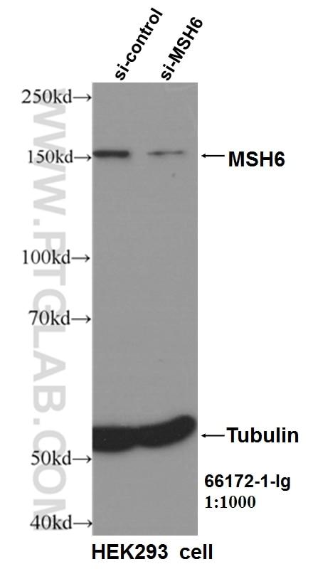 WB analysis of HEK-293 using 66172-1-Ig